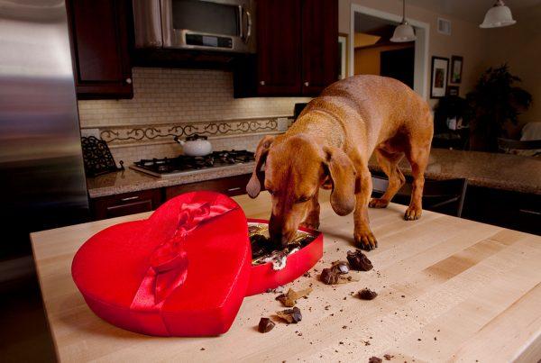 el chocolate es malo para los perros